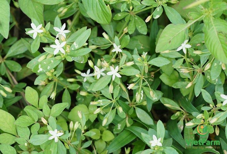Hình ảnh cây bạch hoa xà thiệt thảo