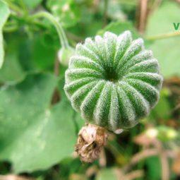 Lá hoa và quả cối xay đều có dược tính trị sỏi thận