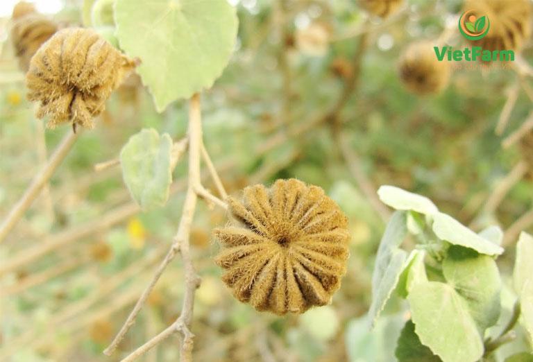 Cây cối xay kết hợp với nhân trần đề trị bệnh gan