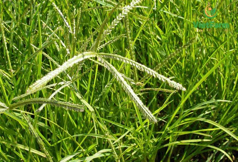 Hình ảnh cây cỏ mần trâu