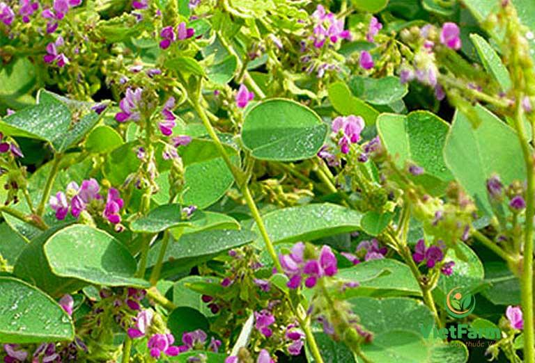 Hình ảnh lá và hoa cây kim tiền thảo