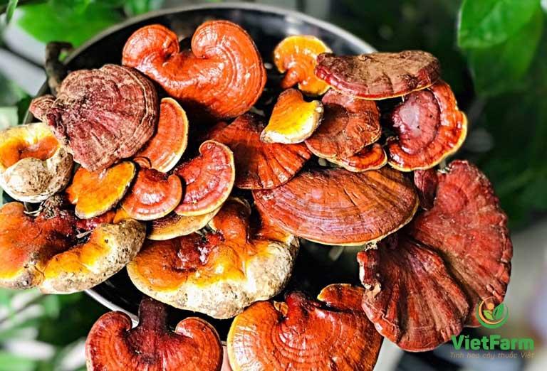 Nấm lim xanh ở Việt Nam được chứng minh có dược tính rất cao
