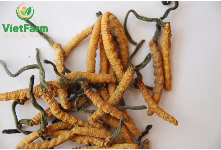 Đông trùng hạ thảo Tây Tạng được ví như thứ vàng mềm quý giá