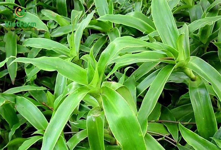 Cây lược vàng là vị thuốc quý trong Đông y với nhiều tác dụng tốt cho sức khỏe