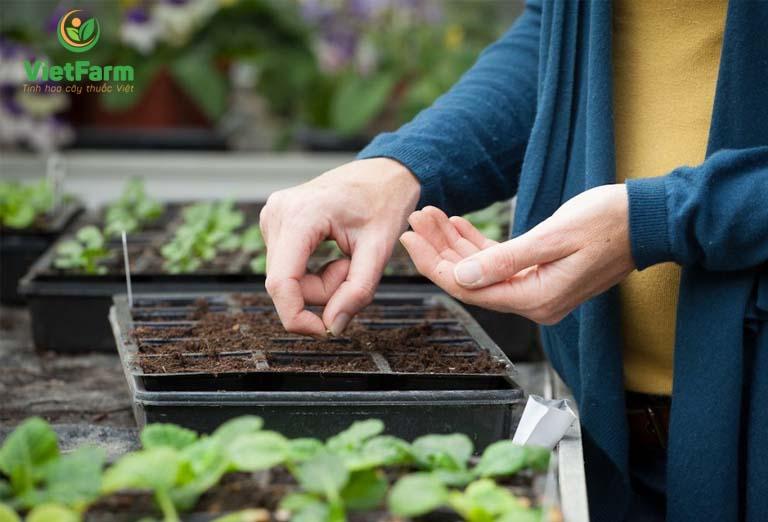 Thực hiện gieo trồng hạt khổ qua sau khi được ủ mầm