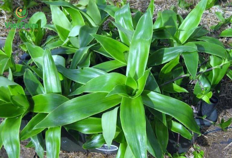 Từ xa xưa cây lược vàng đã được biết đến là một trong những dược liệu chữa mụn nhọt từ thiên nhiên