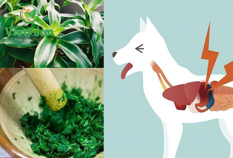 Dùng cây lược vàng chữa bệnh cho chó cần chú ý sử dụng đúng liều lượng