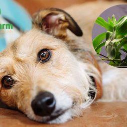 Dùng cây lược vàng có thể chữa bệnh viêm ruột ở chó