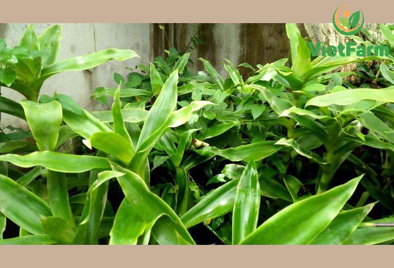 Nhờ vào các hoạt chất có lợi nên cây lược vàng chữa ho rất hiệu quả