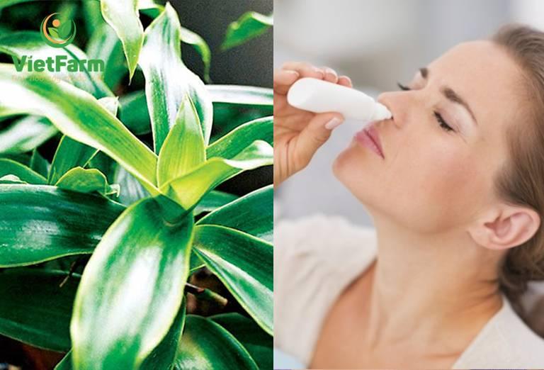 Dùng lá cây lược vàng tươi để nhỏ mũi chữa viêm xoang