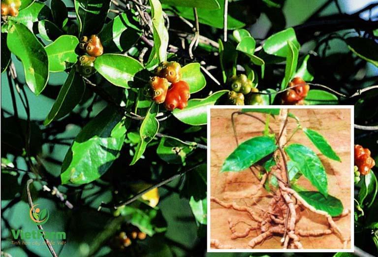 Chọn quả chín đỏ từ cây ba kích trên 5 năm tuổi để nhân giống