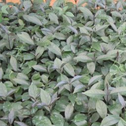Giống cây ba kích tím đạt chuẩn chất lượng gieo trồng