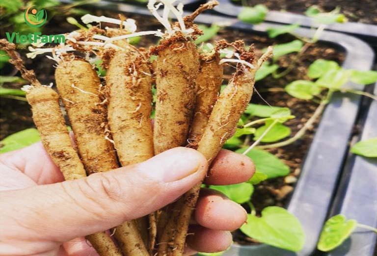 Kỹ thuật trồng cây đẳng sâm - nhân giống từ rễ củ