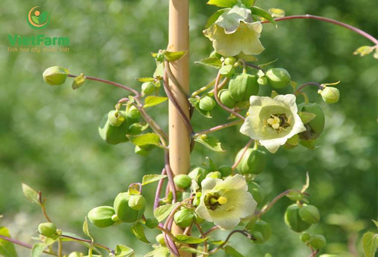 Kỹ thuật trồng cây đẳng sâm - nhân giống từ hạt