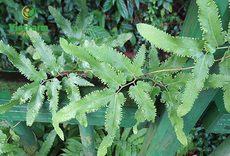 Hình ảnh cây bồng bông - hải kim sa sinh trưởng trong thiên nhiên