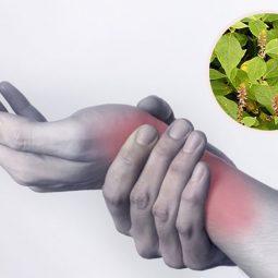 Mách bạn 7 cách dùng cây cỏ xước chữa viêm khớp hiệu quả khó tin