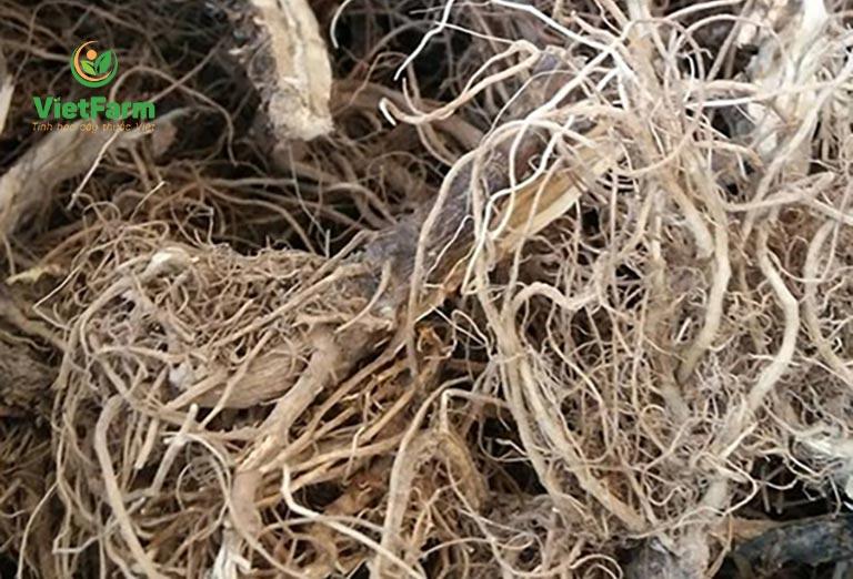 Rễ cây dùng trong nhiều bài thuốc chữa xương khớp