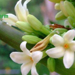 Hoa đu đủ đực chữa ho cho trẻ em hiệu quả nhờ vào các hoạt chất có lợi trong dược phẩm này
