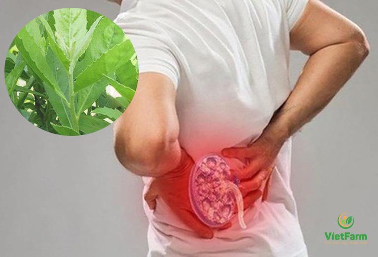 Hiệu quả của bài thuốc cây cúc tần chữa sỏi thận được cả Đông y công nhận