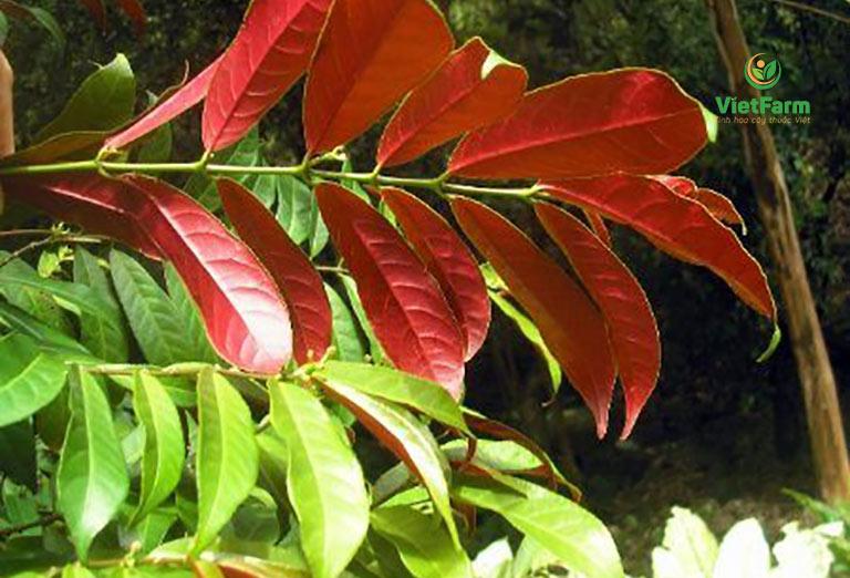 Hình ảnh cây đơn lá đỏ với chiếc lá hai màu xanh - đỏ độc đáo