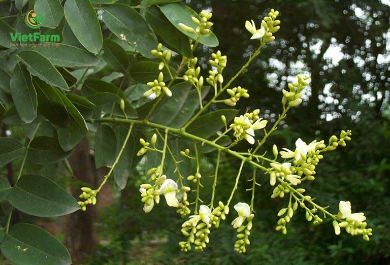 Cây hoa hòe mọc nhiều tại các tỉnh miền Bắc