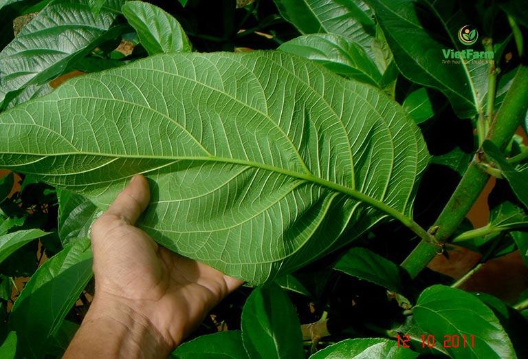 Giã nước lá non cây ngái để chữa sốt rét