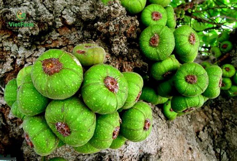 Hình ảnh cây ngái sinh trưởng trong tự nhiên