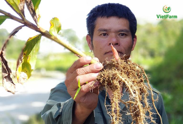 Rễ cây bạch điệp là bài thuốc quý của đồng bào dân tộc thiểu số
