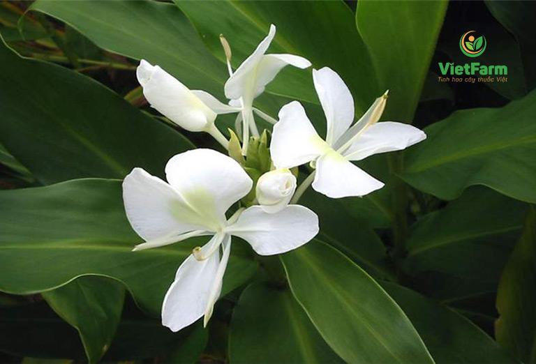 Hình ảnh cây ngải tiên hoa trắng