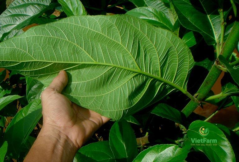 Nước thuốc sắc từ lá cây ngái trị bệnh trĩ