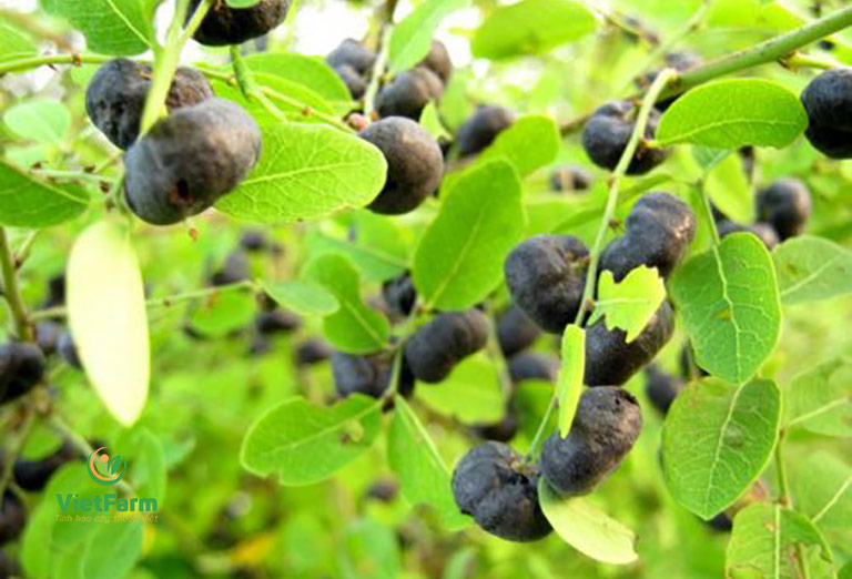 Hình ảnh cây phèn đen với những quả mọng chín màu đen