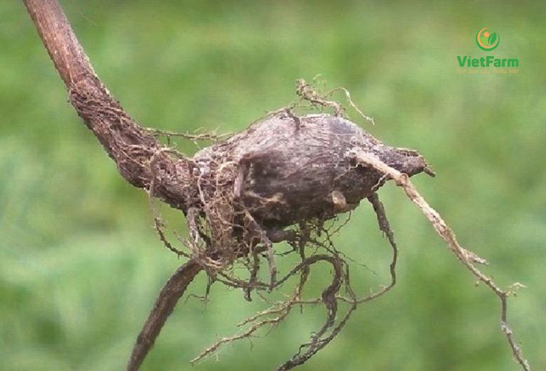 Rễ tươi giã nát ngậm vài ngày sẽ hết đau họng, viêm amidan