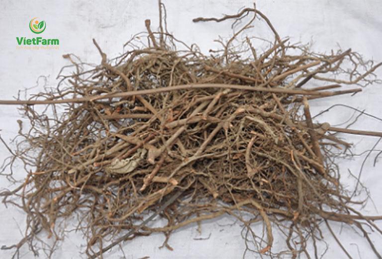Rễ cây xấu hổ góp mặt trong nhiều bài thuốc chữa xương khớp