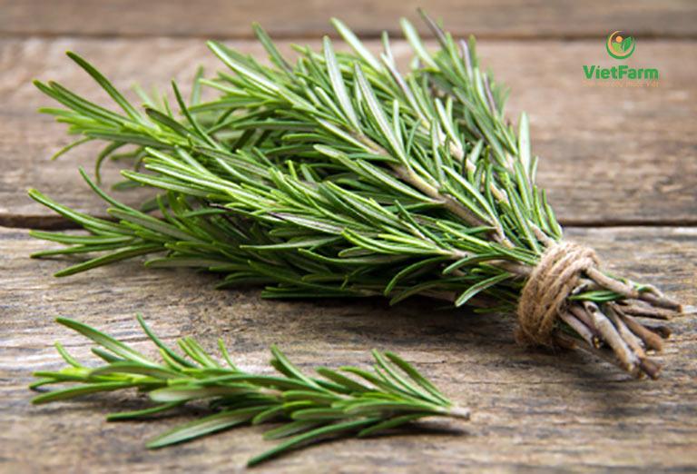 Cây hương thảo có lá dài hơn so với lá Thyme
