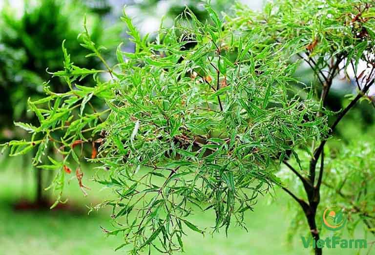Hình ảnh cây đinh lăng nếp