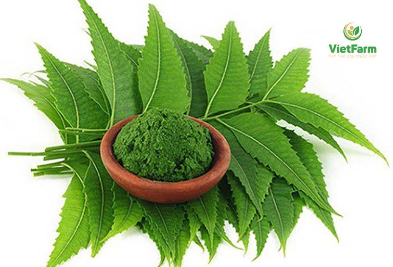 Lá và quả được thu hoạch để làm dược liệu và sản xuất chế phẩm công nghiệp