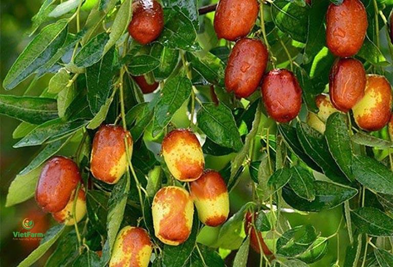 Hình ảnh cây táo đỏ (táo tàu) trong tự nhiên