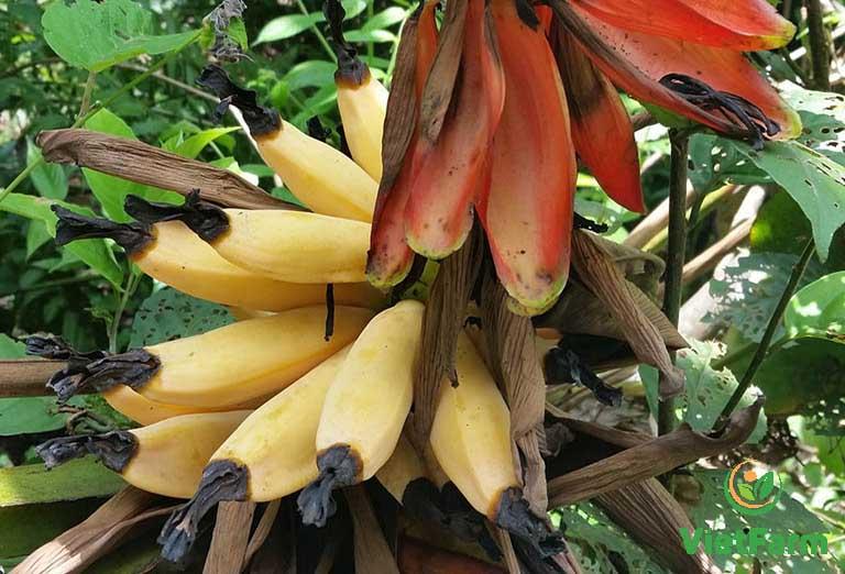 Dược liệu thường mọc hoang ở rừng nhiệt đới có đất mềm xốp