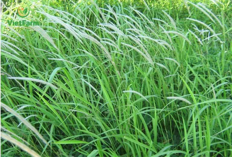 Hình ảnh dược liệu cỏ tranh trong tự nhiên