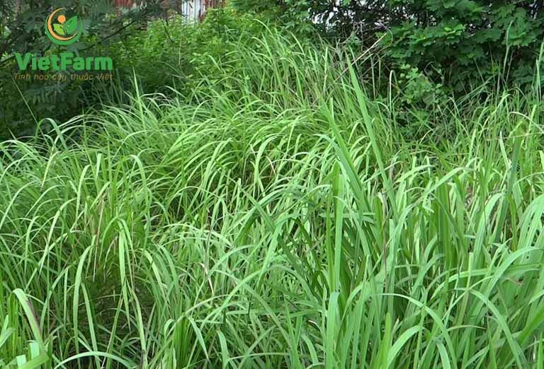 Thân và rễ của cỏ tranh đều có thể sử dụng để làm thuốc