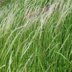 Công dụng của cỏ tranh và những lưu ý khi sử dụng