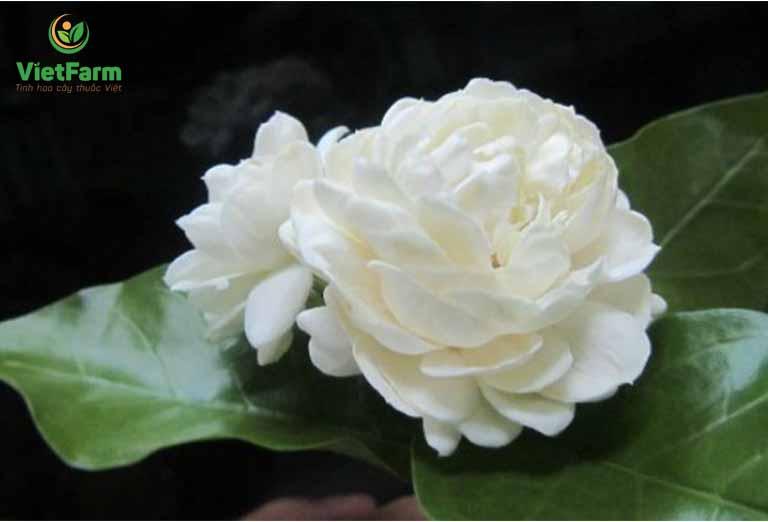 Rễ cây, lá và hoa đều có thể sử dụng để làm thuốc