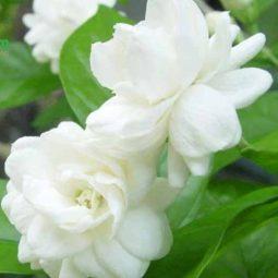 Hoa nhài - Công dụng và những bài thuốc từ dân gian