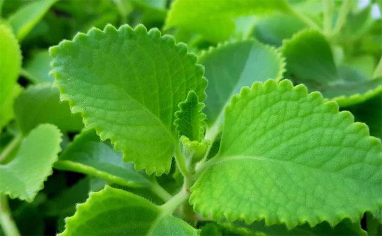 Húng tần chứa nhiều hoạt chất tự nhiên giúp chữa bệnh hiệu quả