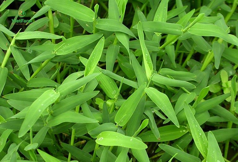Hình ảnh cây cỏ chân vịt mọc hoang dã trong thiên nhiên