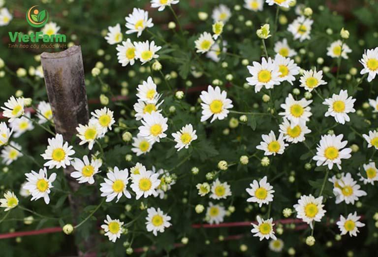 Cúc hoa xuất hiện ở nhiều nơi, là một loại cây cảnh trang trí trong nhà