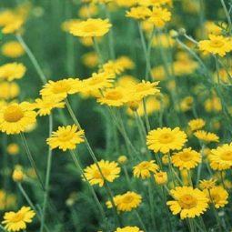 Cúc hoa là cây gì? Đặc điểm, công dụng, những bài thuốc chữa bệnh
