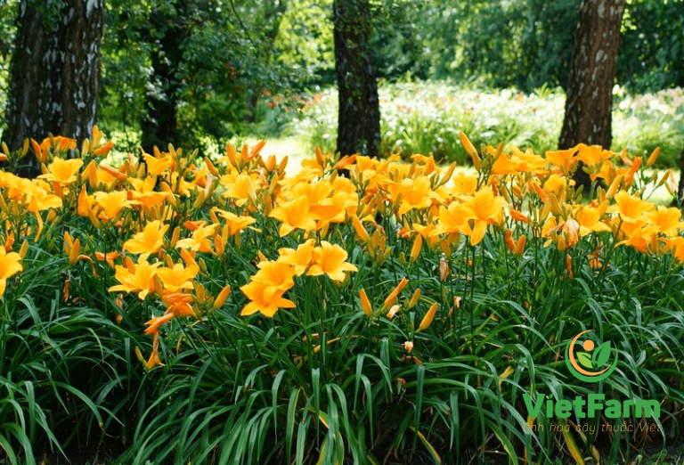 Hình ảnh cây hoa kim châm được tìm thấy trong tự nhiên