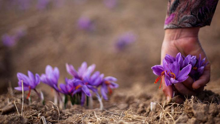 Nhuỵ hoa nghệ tây được nuôi trồng hữu cơ và thu hoạch thủ công