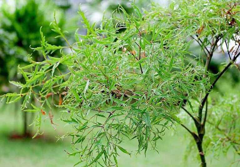 Dùng bài thuốc từ cây đinh lăng để làm sạch mủ amidan